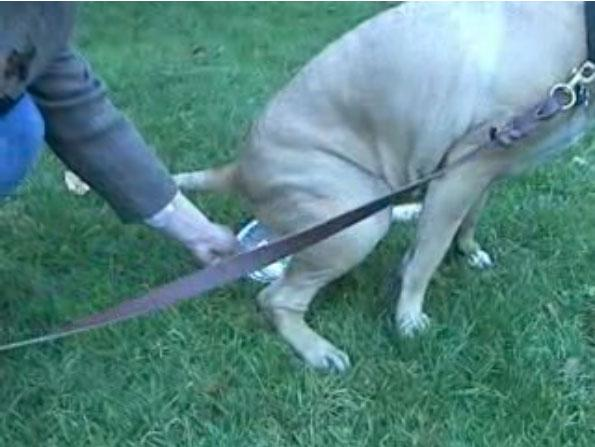 Collecting a urine specimen from your dog – Female